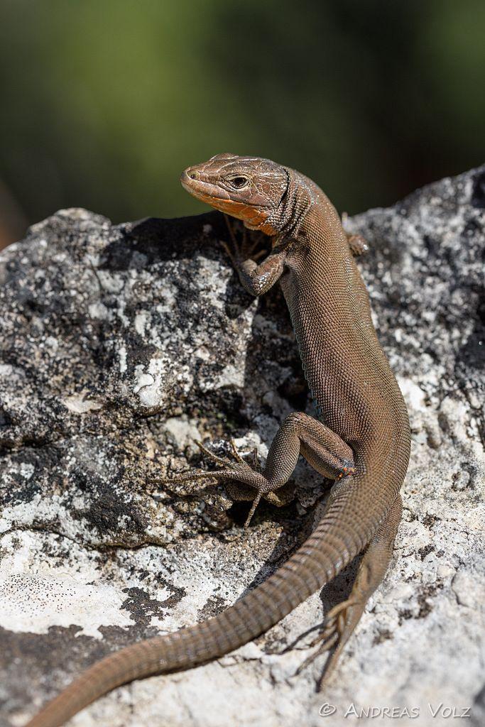 Reptilien184.jpg